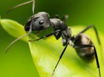 controlling garden ants