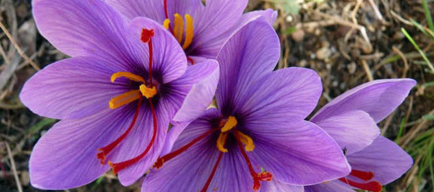 grow saffron plants